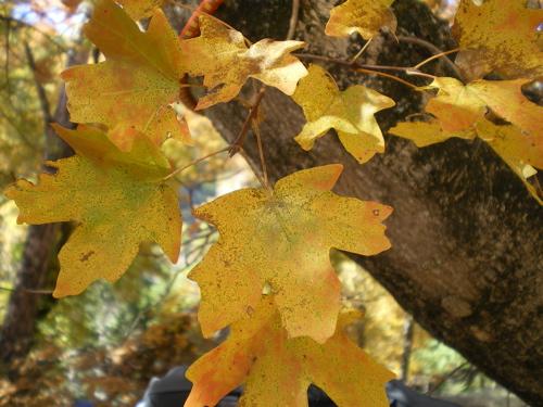 Yellow Maple Close