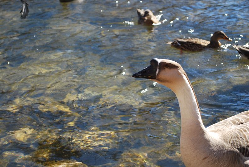 Feeding Ducks and Geese
